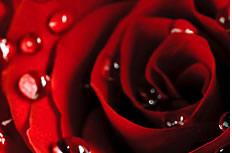 带露珠红玫瑰花图片