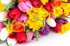 彩色郁金香图片