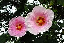 高清粉色木棉花图片素材