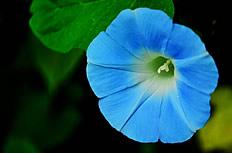 蓝色牵牛花高清图片