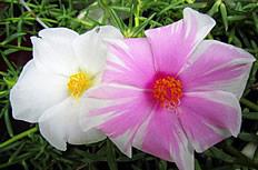 太阳花花朵高清摄影图片下载