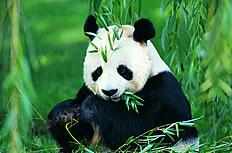 超萌大熊猫吃竹子高清图片