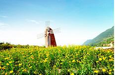 荷兰太阳花图片素材