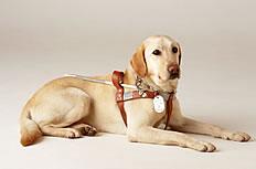 导盲犬拉布拉多图片