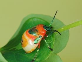 黄金龟甲虫图片