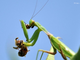 螳螂高清图片