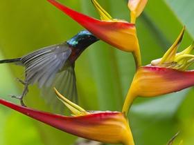 最小型鸟类蓝喉太阳鸟图片