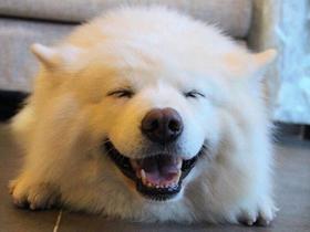 可愛寵物薩摩耶犬圖片