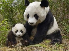 国宝熊猫图片