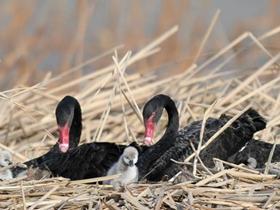 黑天鹅可爱图片