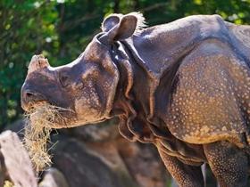 强健的犀牛