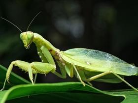 霸道的螳螂