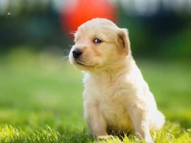 金毛犬動物