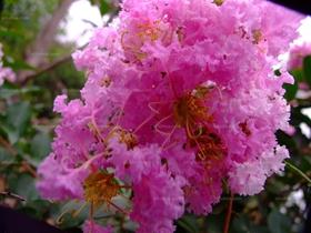 大花紫薇图片