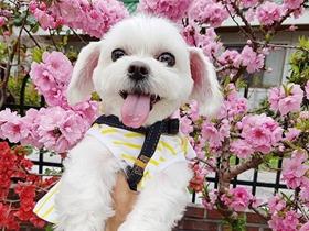 潮流范的马尔济斯犬图片