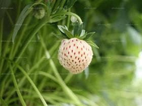 菠萝莓图片