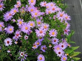 荷蘭菊圖片
