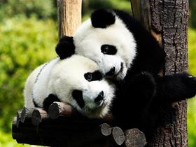 可爱国宝大熊猫图片
