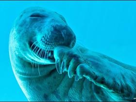 海豹偷笑图片