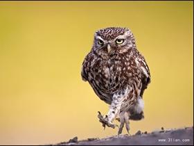 鏡頭感好強的貓頭鷹圖片