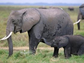 野外大象图片