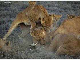 塞伦盖蒂狮子图片