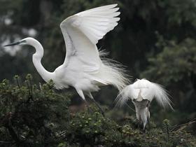 白鹭展翅图片