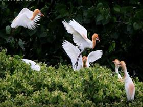 白鹭幼鸟图片