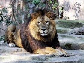 非洲獅圖片