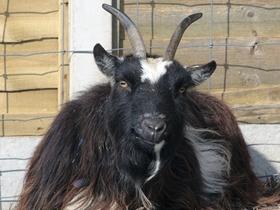 黑色山羊圖片