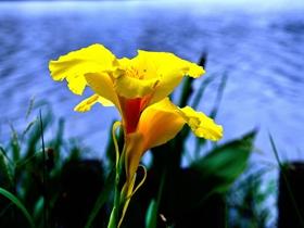 黃色美人蕉圖片