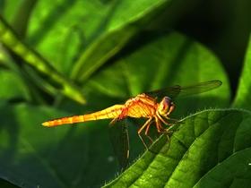 近观蜻蜓图片