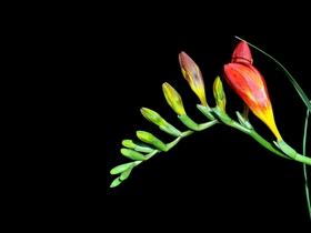 香雪兰花苞图片