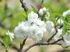 白色桃花图片