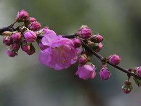 粉红色榆叶梅图片