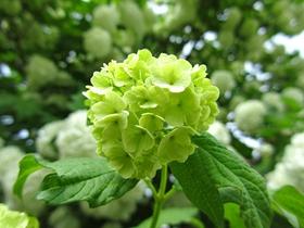 绿色绣球花图片