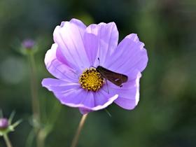 紫色格桑花图片