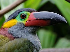 圭亚那小巨嘴鸟图片