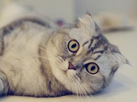 可愛的折耳貓圖片