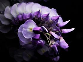 高清紫藤图片