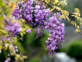 清新紫藤图片