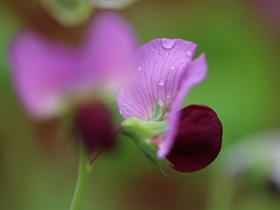 唯美豌豆花图片