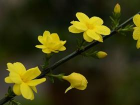 迎春花圖片