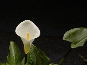 白色马蹄莲图片