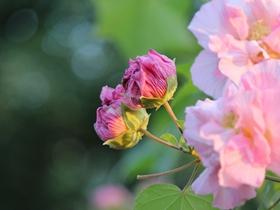 芙蓉花的图片