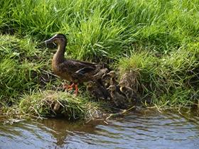 池塘游泳的鸭子图片