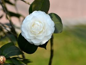 白色山茶花圖片
