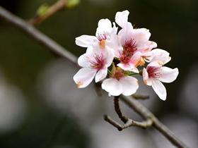 白色樱花图片