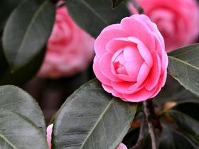 粉红色山茶花图片