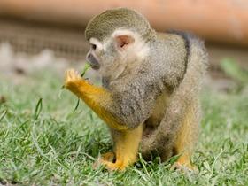 松鼠猴的图片